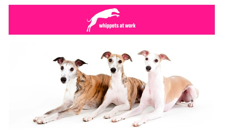 Whippets at work